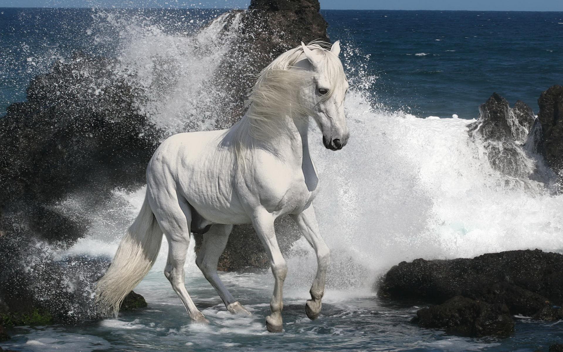 Animals_Horses_White_stallion_033440_.jp