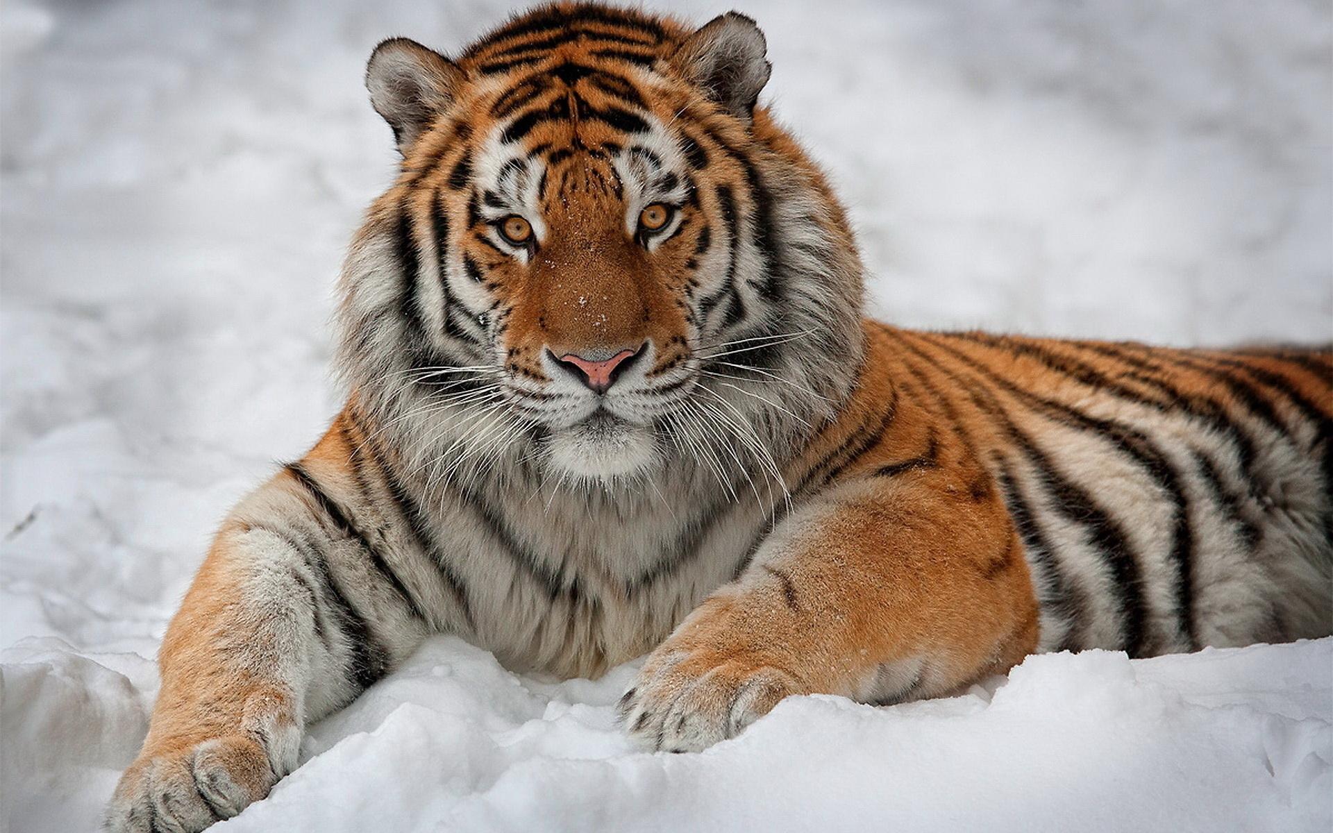 tiger wild snow -#main