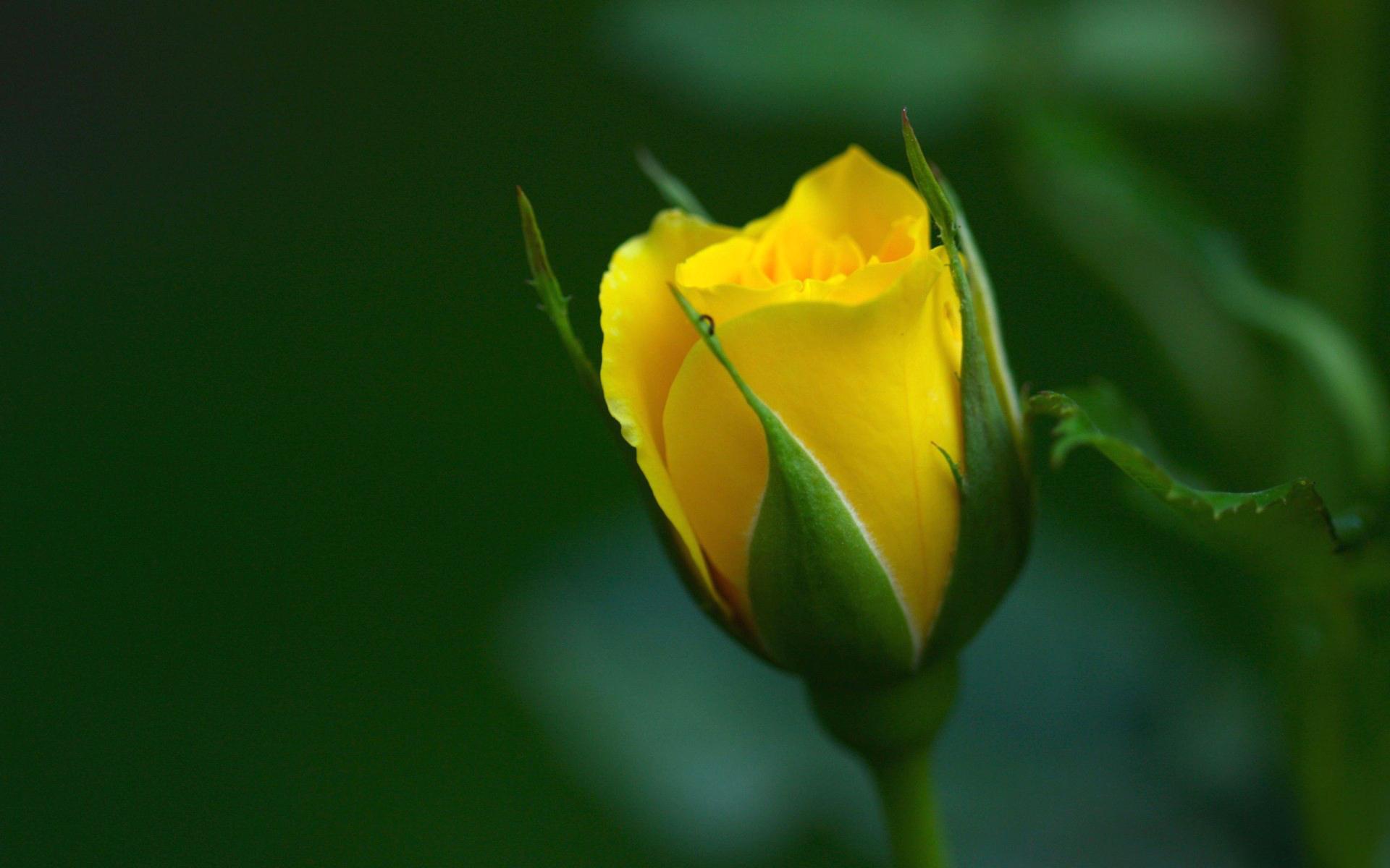 yellow love rose - HD1920×1200
