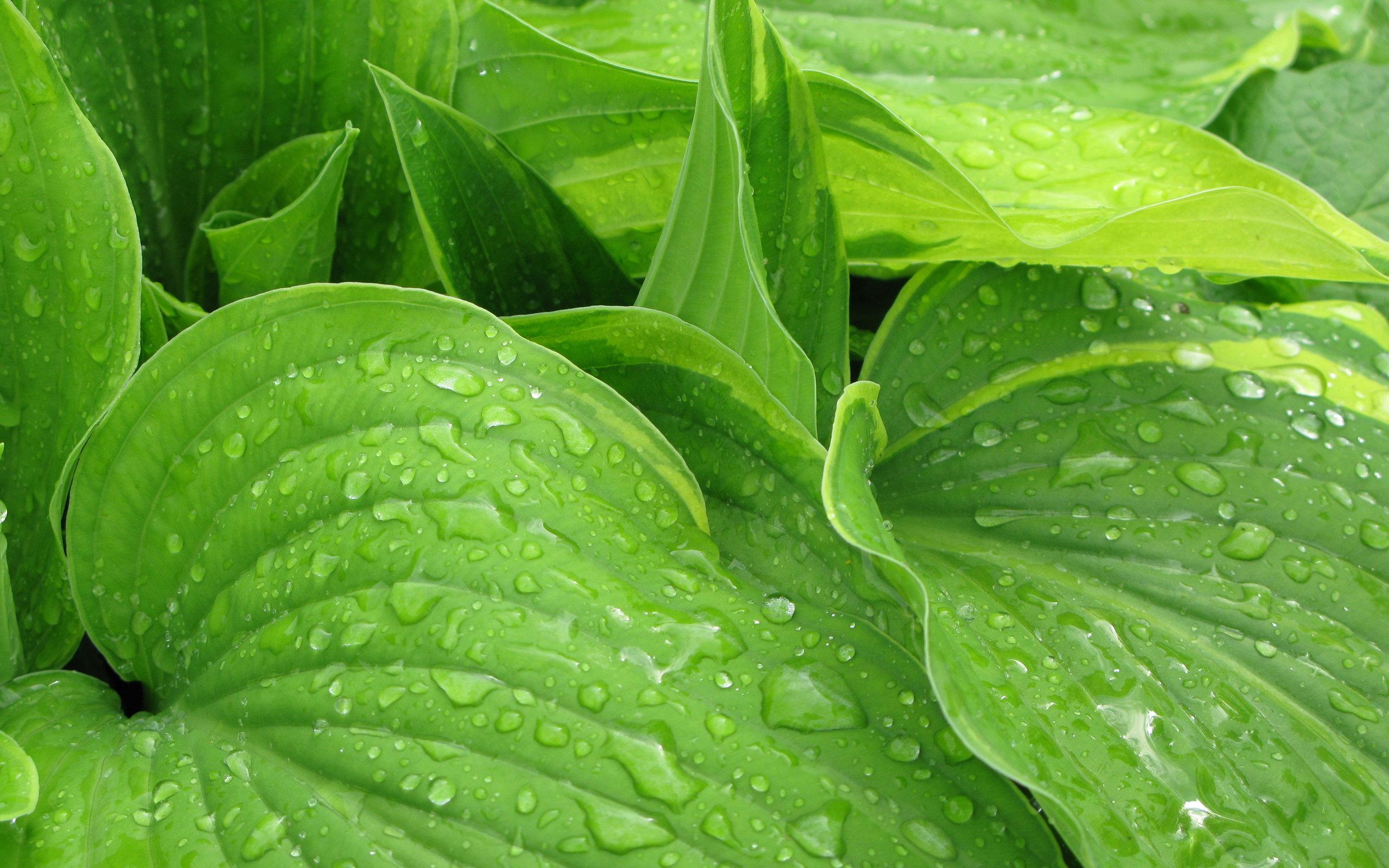 rain leaves nature plants wallpapers hd 4k desktop cut