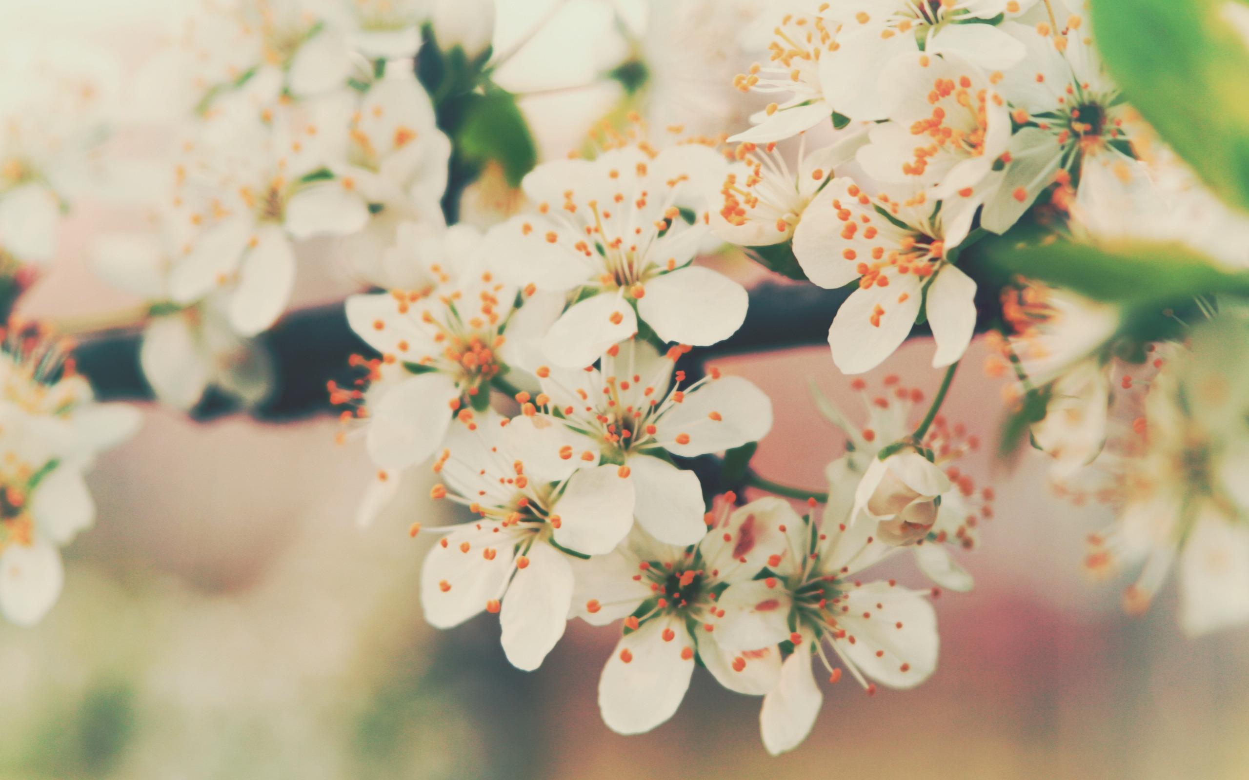 Картинки цветущая вишня для телефона