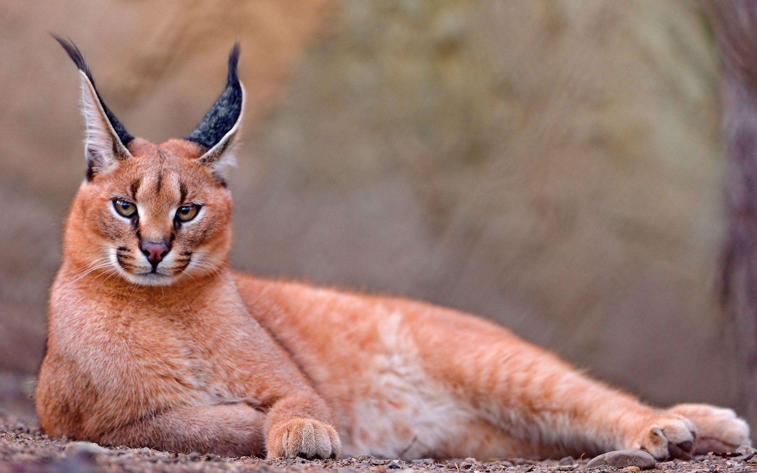 Caracal cat - photo#9
