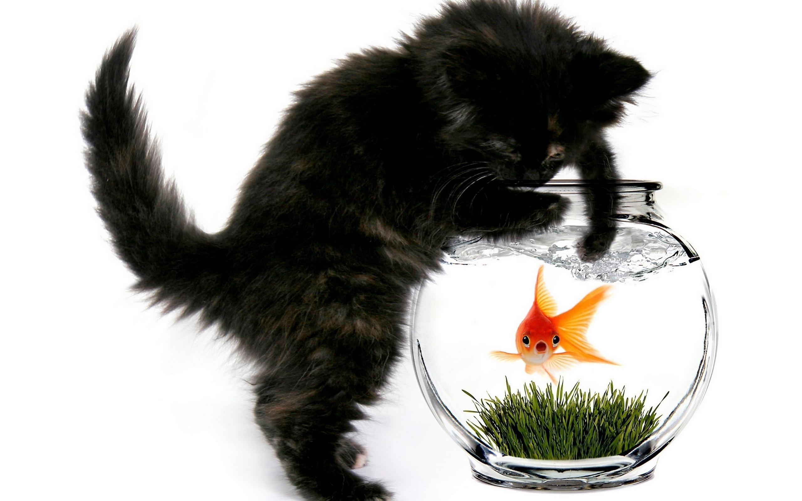золотая рыбка фантейл фото