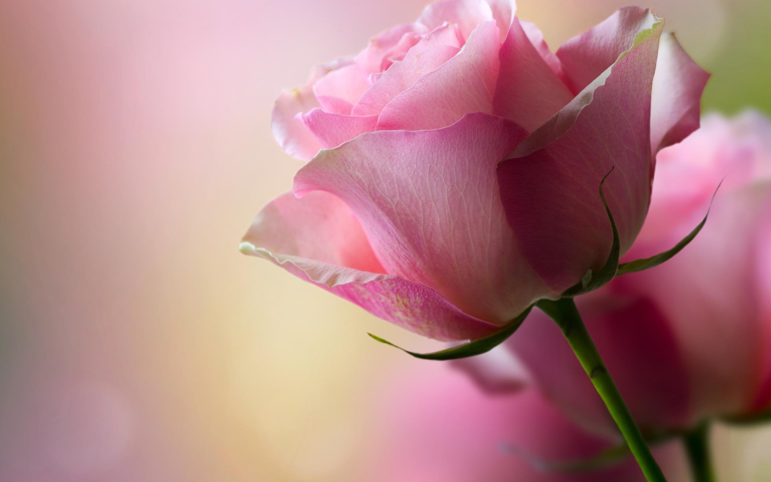 цветок, роза, Макро, лепестки роз, свет ...: www.zastavki.com/rus/Nature/Flowers/wallpaper-40244-19.htm