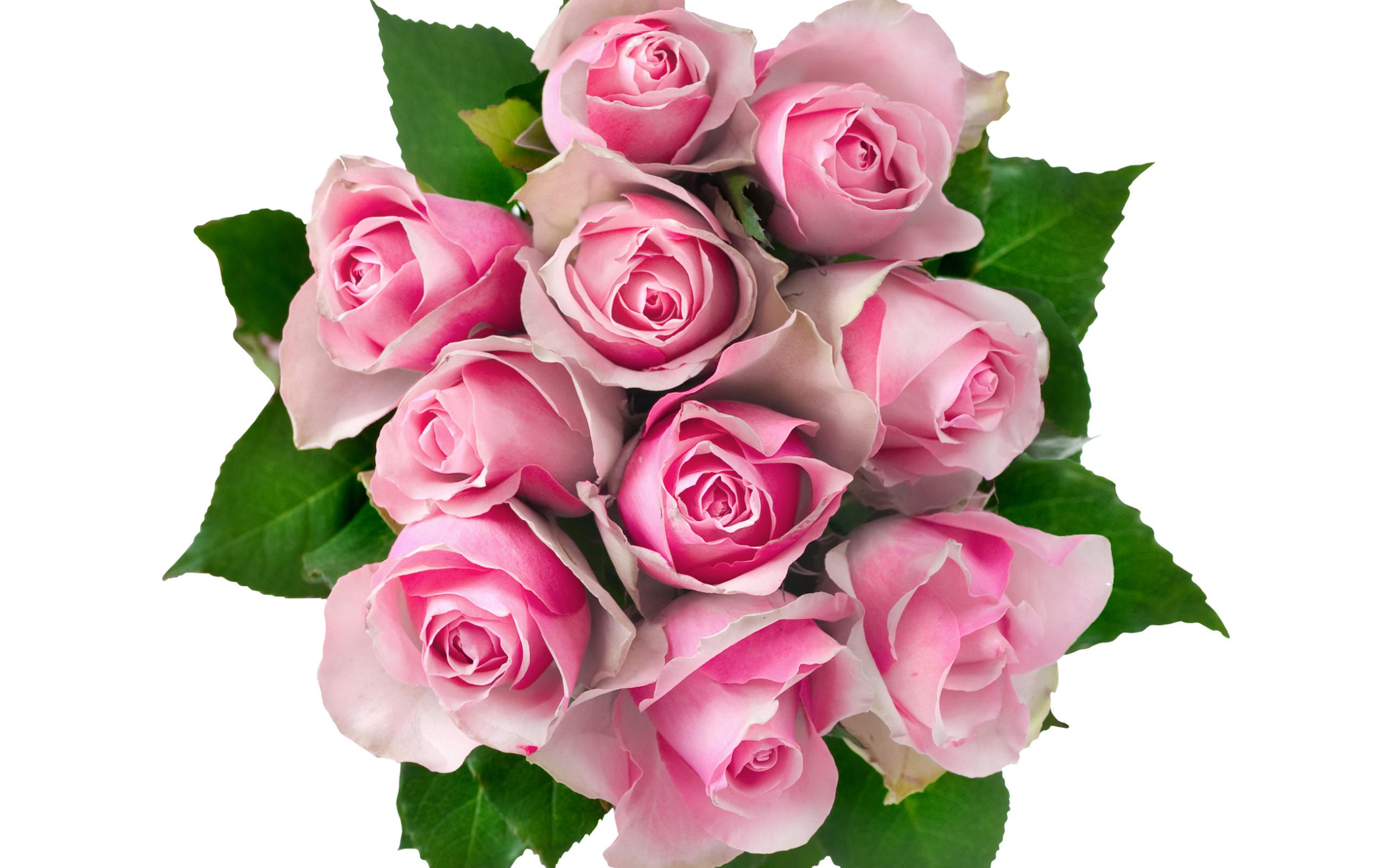 розовые розы фото на прозрачном фоне илеальном состоянии