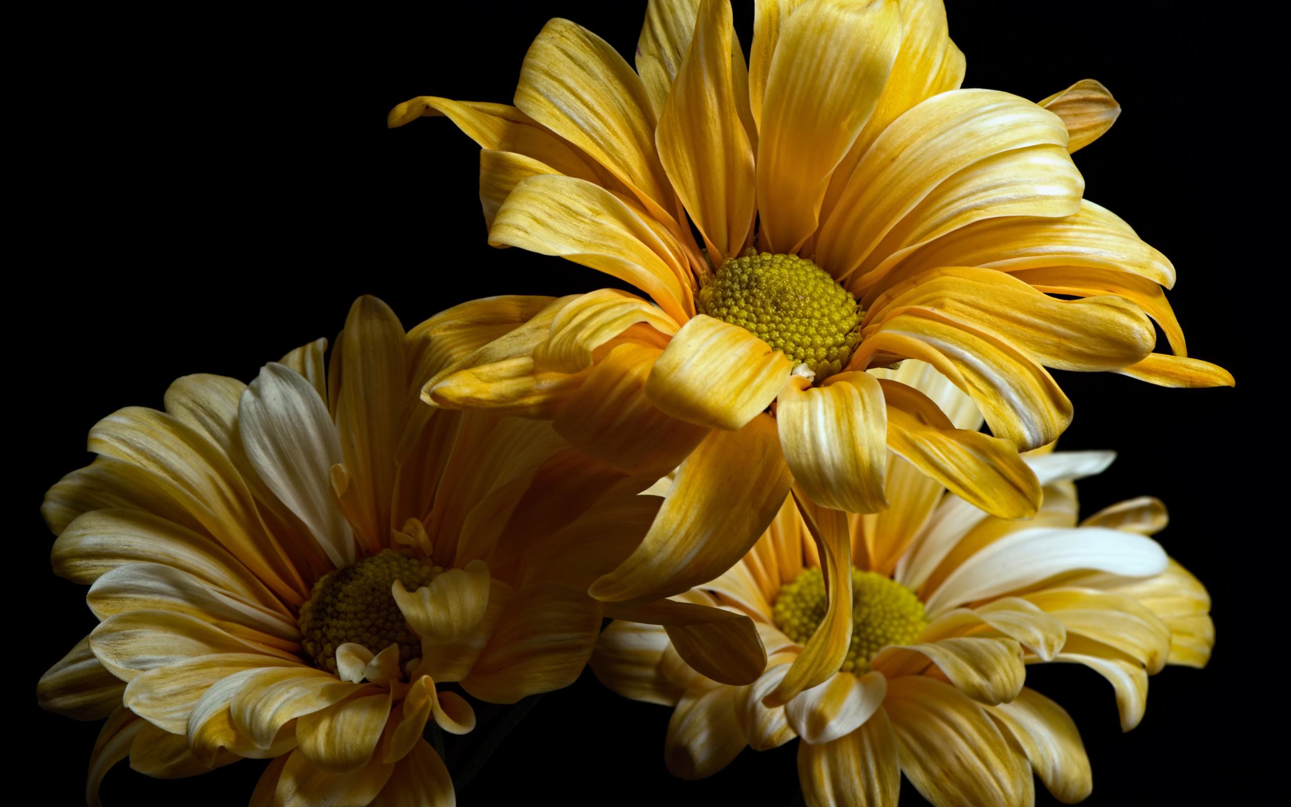 обои на телефон хризантемы желтые побывав котором