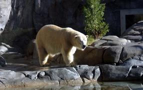 Большой Белый Медведь