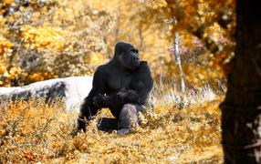 Gorilla in the autumn