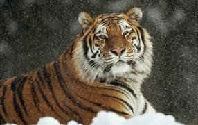 Important tiger