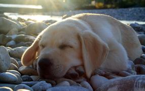 Sleep Labrador