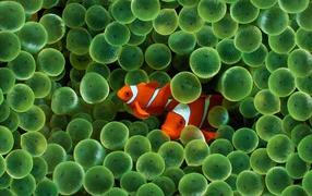 Clown Fish iPhone