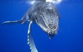 Плывущий кит