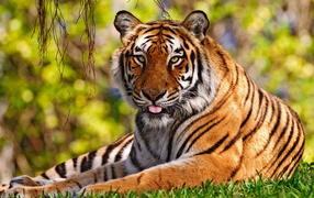 Львы, тигры, дикие кошки