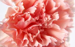 Макро-Гвоздика, Цветы