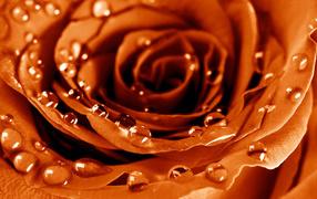 Мокрая роза