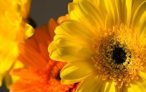 Yellow and orange Gerbera