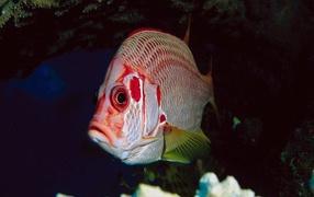 Рыба с красными полосками
