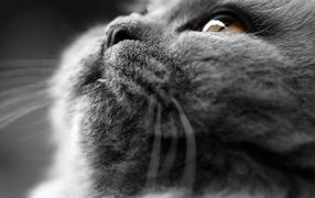 Британский кот крупным планом