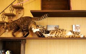 Противостояние двух котов