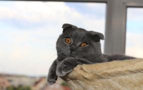 Обои на рабочий стол кошки сибирские 4