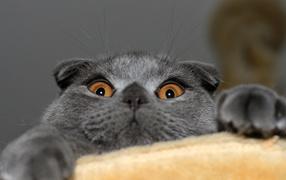 Playful gray Scottish Fold cat