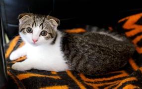Scottish Fold cat on the bedspread