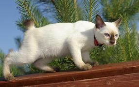 Сиамский кот на заборе кого-то увидел