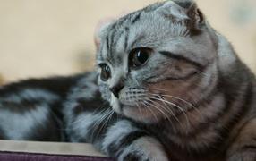 Silver beautiful Scottish Fold cat