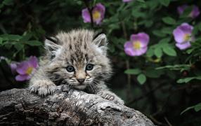 Маленький серебристый кот мейн-кун на дереве