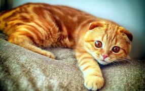 Рыжий кот с полосками