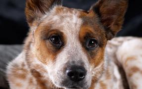 Австралийская пастушья собака крупным планом