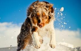 Австралийская овчарка в снегу