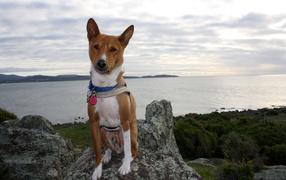 Beautiful dog breed Basenji posing on a rock