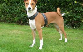 Красивая собака породы басенджи улыбается
