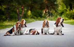 Семья бассет-хаундов сидит на дороге