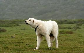 Большая пиренейская собака лает в поле