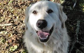 Портрет счастливой большой пиренейской собаки