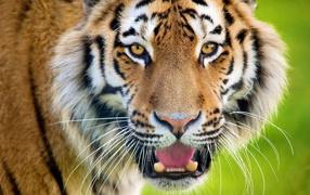 Tiger growls Baring his teeth