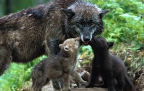 Волчица кормит волчат