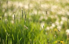 Field, Grass, Macro, July