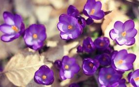 Цветут Фиолетовые крокусы