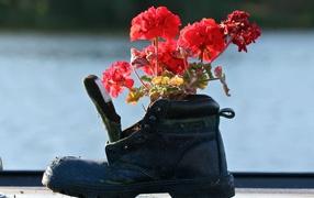 Geranium in the old boot