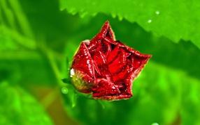 Бутон розы с капельками