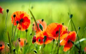 маки, полевые цветы, красный мак, Июль