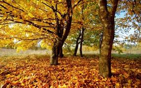 Осенний желтый листопад