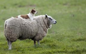 Собака на овце