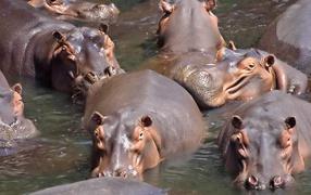 A herd of hippos
