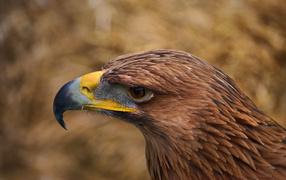 Орел с желтым клювом