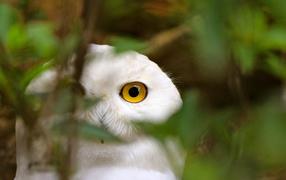 Голова белой совы