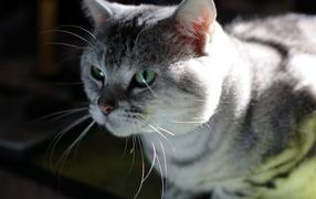 Серый усатый кот
